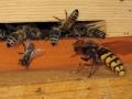 Bienen_012