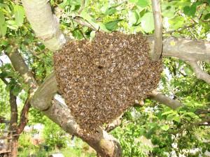Bienenschwarm_02